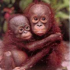orangutang_home